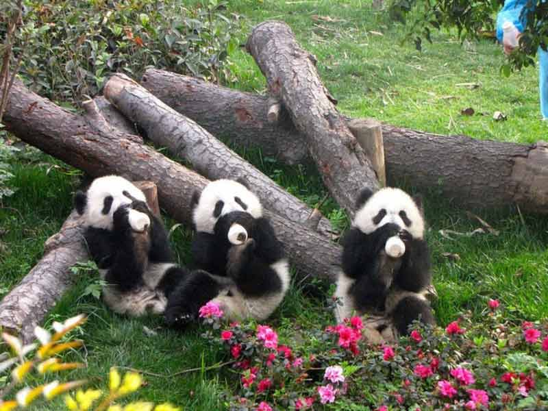 Panda Aufzucht in Chengdu